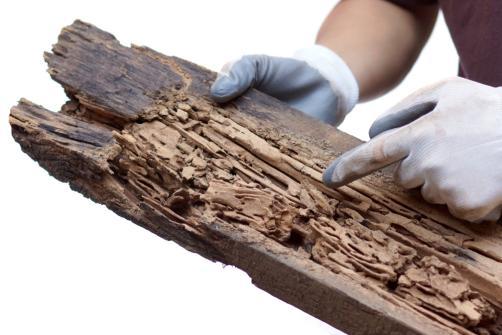 Attaque de termites