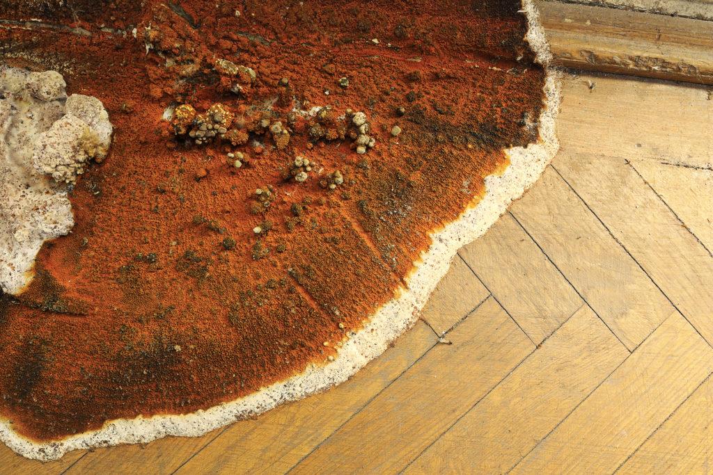 mérule-champignon-lignivore-vue-proche