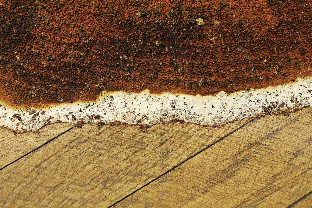 mérule-champignon-lignivore-bord