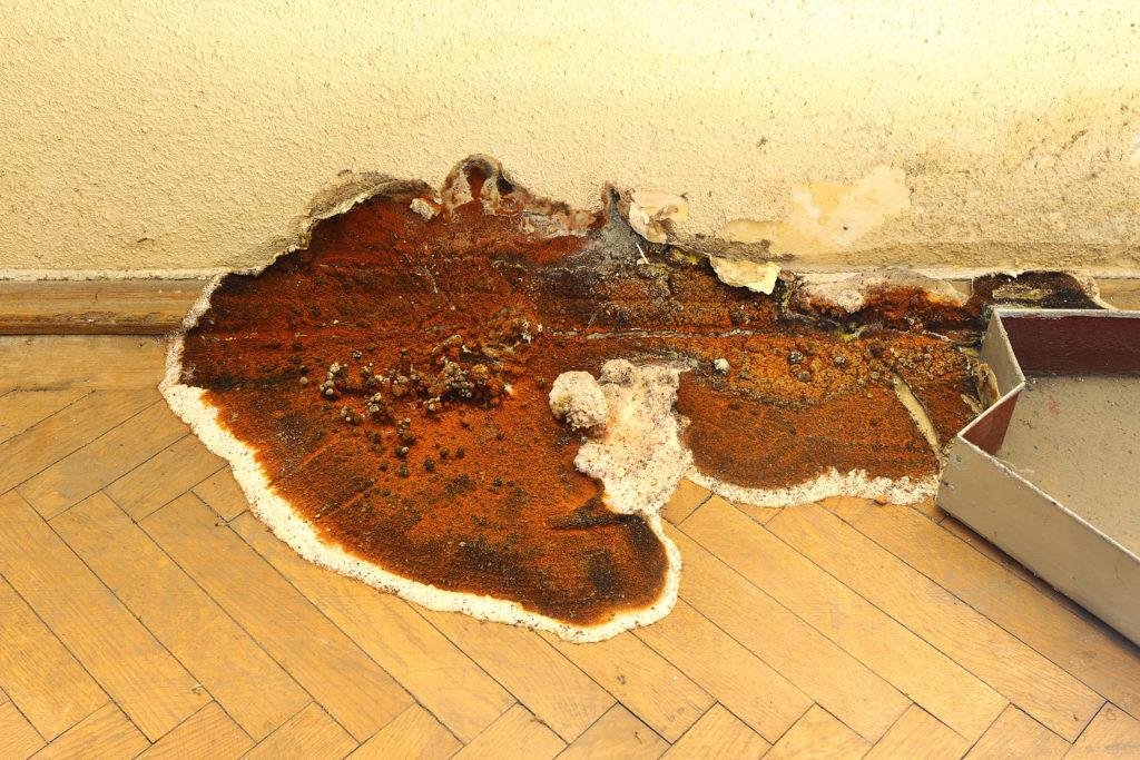 mérule-champignon-lignivore-parquet